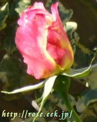 rose060428-2.jpg