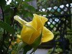 最近咲いた黄色いバラ